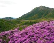 阿蘇山上ミヤマキリシマ