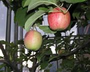 果実の国COUPLES(りんご・ぶどう)