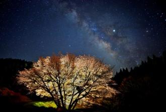 波野の牛神桜