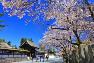 阿蘇神社参道の桜