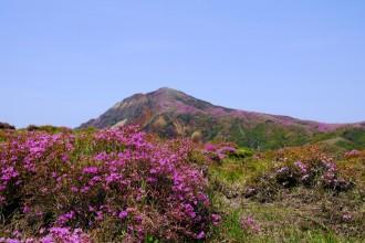 阿蘇山上広場そばのミヤマキリシマ