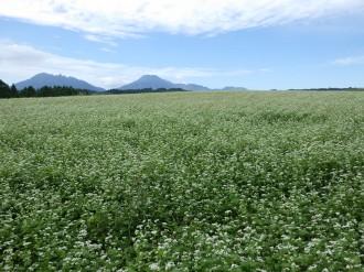 9月14日現在のそば畑のようす