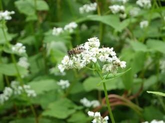 そばとミツバチ